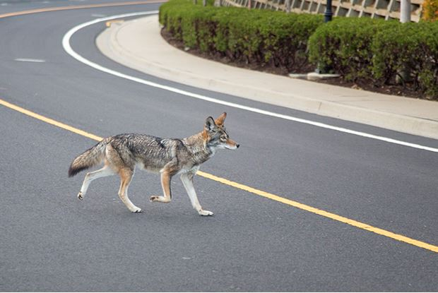 coyote crossing Mission Blue Dr.